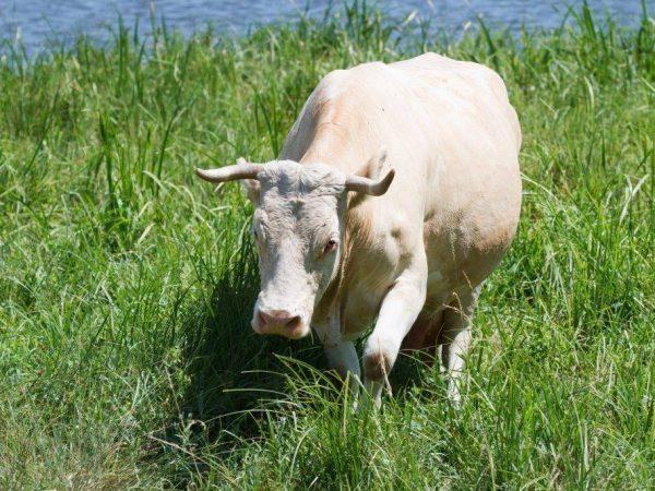 Сколько коровы ходят беременными