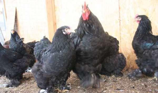 Кохинхин: описание породы кур, разведение, содержание и преимущества