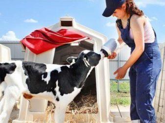 Зцм для телят: инструкция, как разводить сухое молоко, состав, пропорции и схема выпойки8