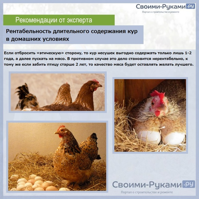 Сколько живет курица несушка в домашних условиях