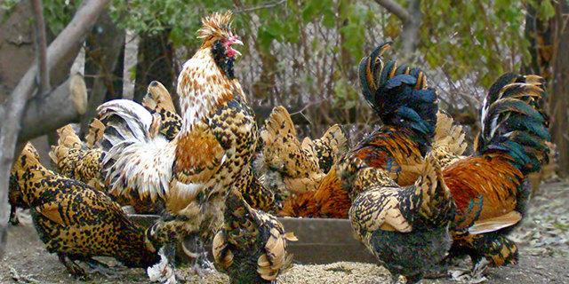 Лечение поноса у цыплят, несушек и бройлеров в домашних условиях