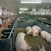 Свинарник своими руками:особенности сооружения, выбор места и материалов