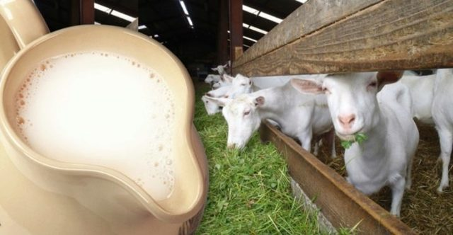 Как правильно доить козу и сколько раз в день, как раздоить после первого окота