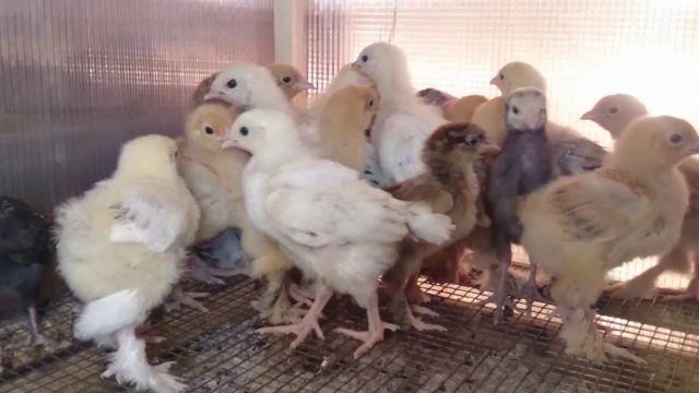 Куриные вши: чем обработать курятник, супер средства от паразитов