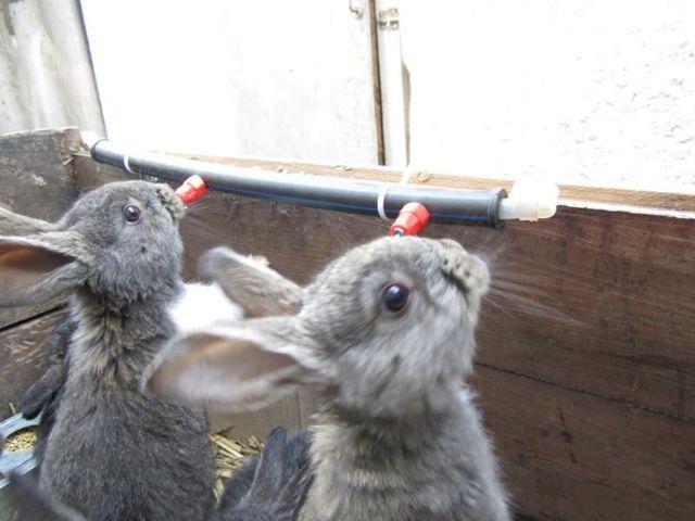 Кокцидиоз у кроликов симптомы и лечение, как давать йод для профилактики, опасность для человека