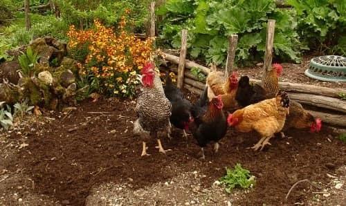 Куриный помет как удобрение, как применять для подкормки, как разводить навоз