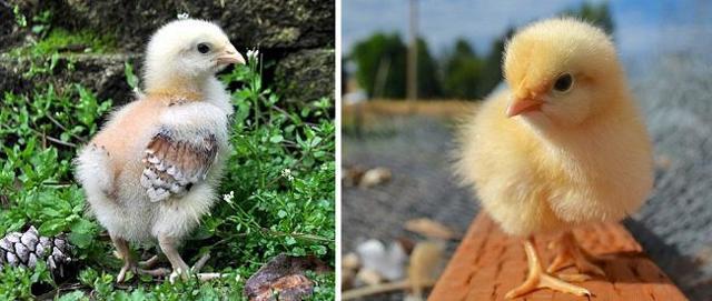 Орпингтон – порода кур с вкусным мясом, характеристика и описание