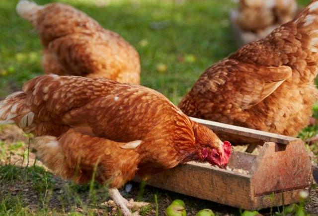 Сколько яиц несет курица в день, сколько лет несутся в домашних условиях
