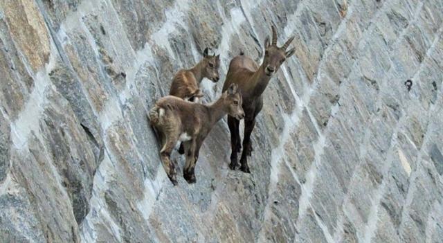 Горный козел: описание и характеристика, как называется, где обитает, фото
