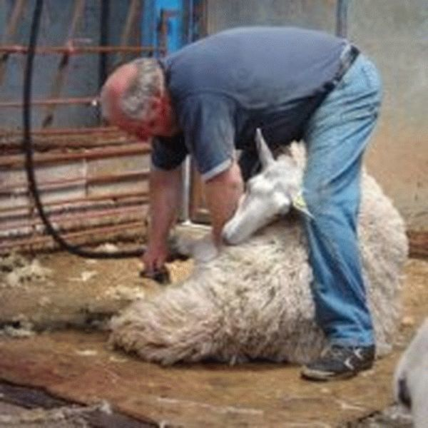 Машинка для стрижки овец и баранов: как выбрать, как ухаживать и как пользоваться