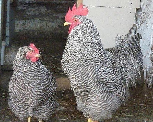 Куры мясо-яичной породы лучшие для дома: фото и описание