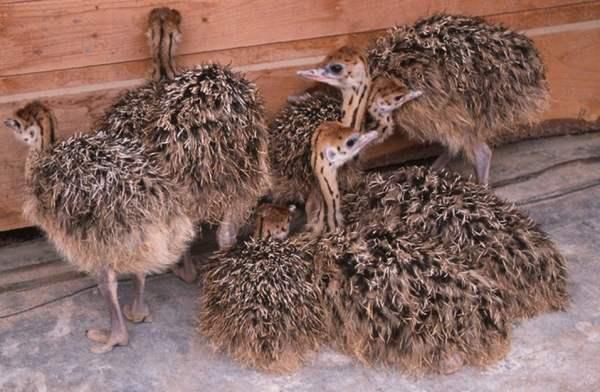 Разведение страусов в домашних условиях для начинающих: чем кормить, содержание