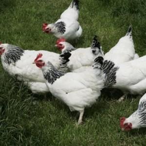 5 причин почему куры несут яйца без скорлупы, с тонкой, мягкой пленкой
