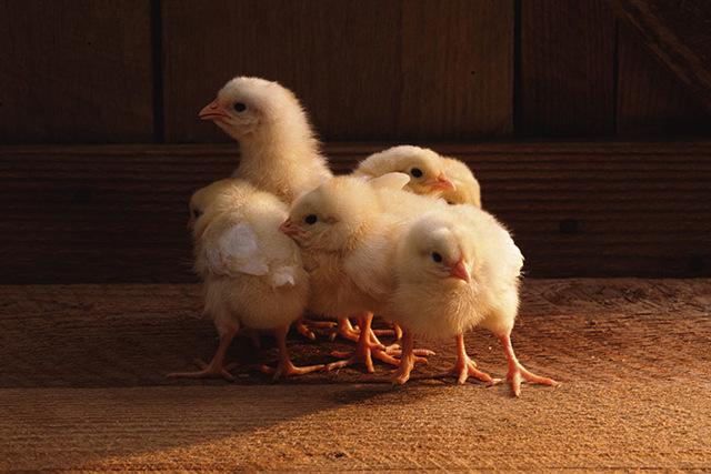 Гамматоник: инструкция по применению для птиц, Гамматоник в ветеринарии