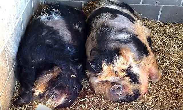 Сколько ходит беременная свинья, методы определения, сроки опороса