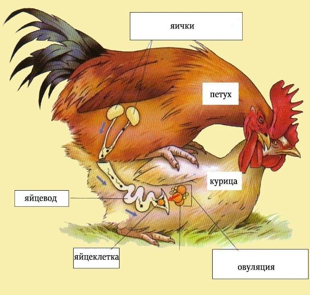 Как петух оплодотворяет курицу, в каком возрасте начинает топтать кур
