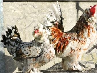 Лучшие Декоративные и Карликовые породы кур: описание и фото