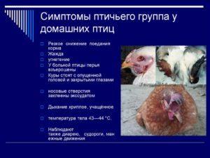 Птичий грипп у птиц: симптомы и лечение, первые признаки и опасность для человека
