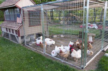 3 причины выпадение перьев у кур, что делать при облысении птиц