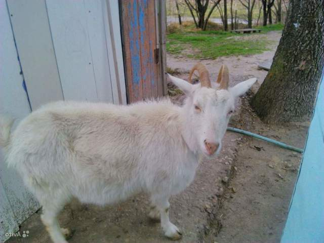Как узнать беременность козы в домашних условиях