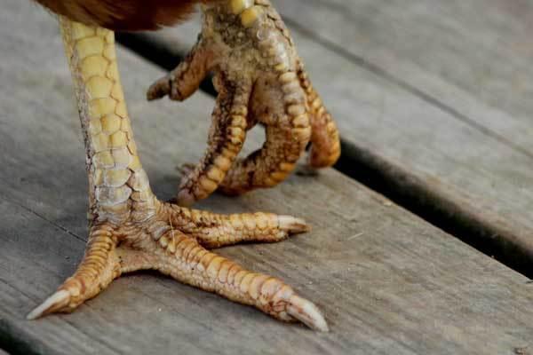 Опухла лапа у курицы, она хромает, наросты, шишки, лечение болезней ног