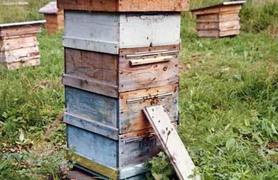 Разведение пчел в домашних условиях: как завести и содержать,основы пчеловодства