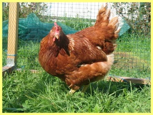 Куры Леггорн – самые яйценоские куры, дают около 320 яиц в год