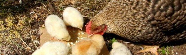 Энтомозан инструкция по применению, как развести для кур и других птиц