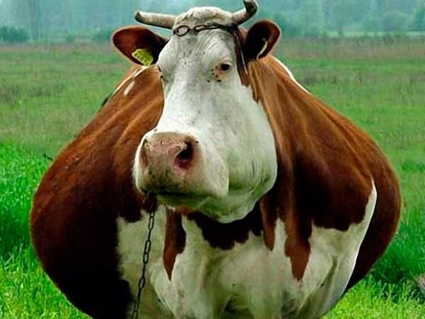 Сколько длится беременность у коровы, сколько месяцев вынашивает теленка