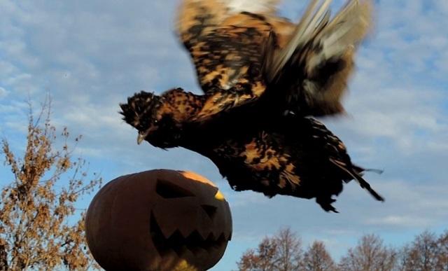 Золотистые и серебристые Павловские куры – фото и описание породы