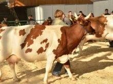 12 лучших пород коров молочного направления: самые высокоудойные, критерии выбора