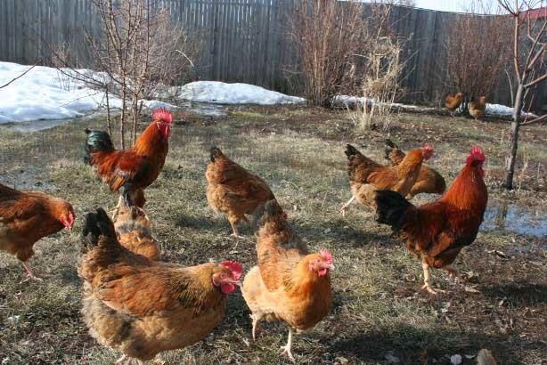 Почему куры клюют яйца, что делать, как решить проблему народными средствами
