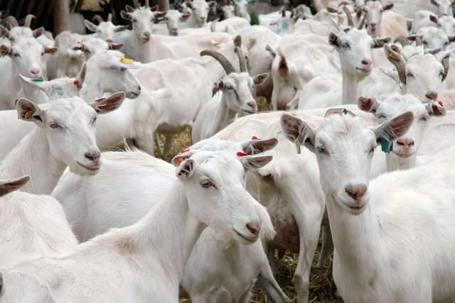 Сколько длится и как определить беременность у козы, на 100% безошибочно