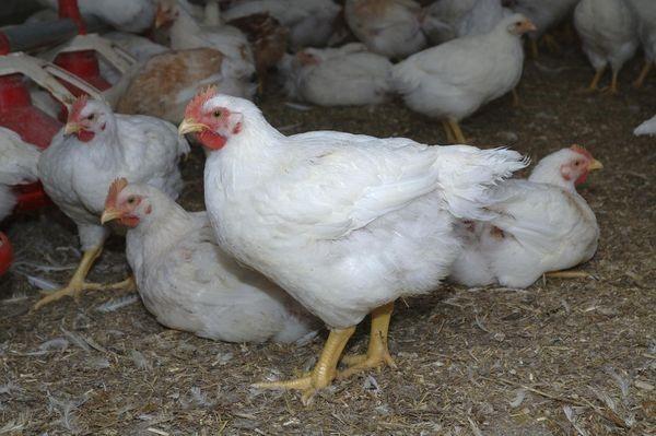 Болезнь марека: симптомы и лечение кур несушек, цыплят и бройлеров