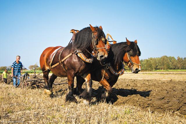 Порода лошадей тяжеловозов, как правильно разводить и ухаживать за ними