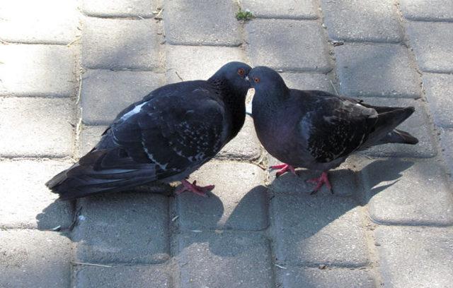 Как определить пол голубя, способы отличить самца от самки, внешние характеристики