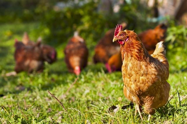 Сколько лет живет курицы несушки и петухи в домашних условиях