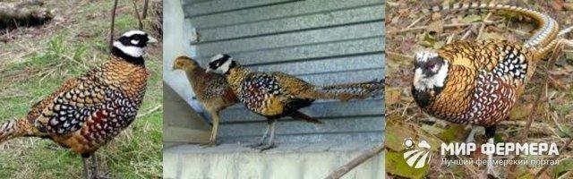 Разведение фазанов в домашних условиях для начинающих: как выращивать