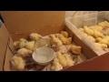 Разведение, содержание, выращивание и уход за цыплятами суточными и недельными