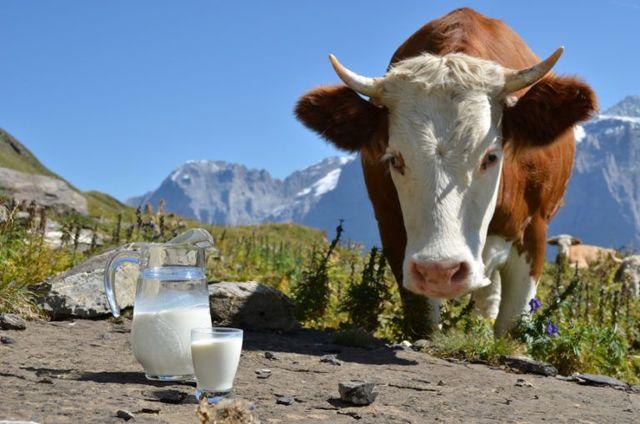Сколько молока дает корова в сутки в среднем, начало и длительность удоя
