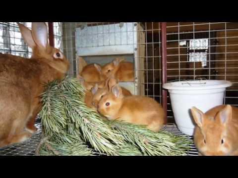 Байкокс: инструкция по применению для кроликов, цыплят, птиц, как использовать
