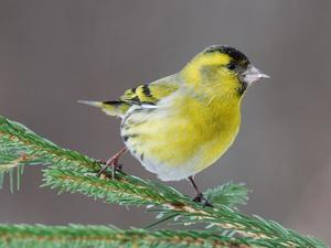 Домашние птицы для содержания в квартире, декоративные и певчие