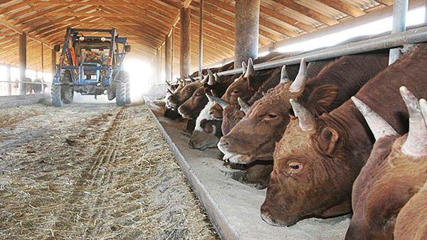 Чем кормить быка на мясо