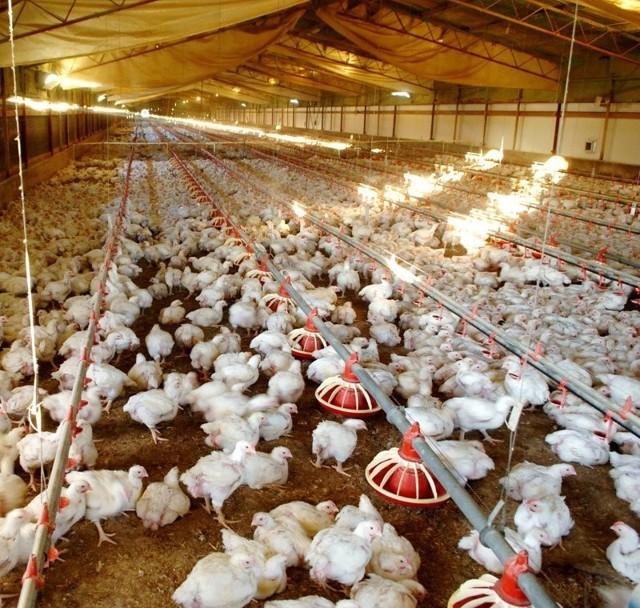 Гамавит для цыплят, кроликов и птиц инструкция по применению: состав, дозировка