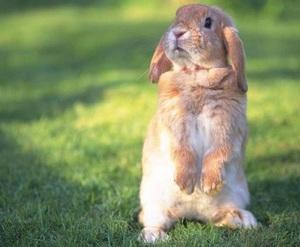 Как забить кролика: как отобрать, сроки, как разделать на порционные куски