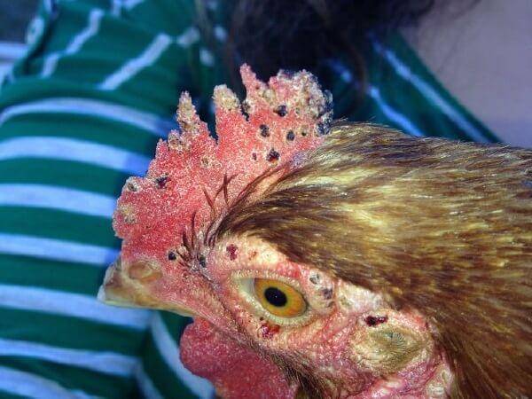 Паразиты у кур: лечение, как избавиться, чем обработать, как выглядят, фото