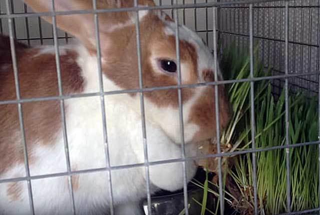 Роды крольчихи: чем кормить кормящую крольчиху после окрола