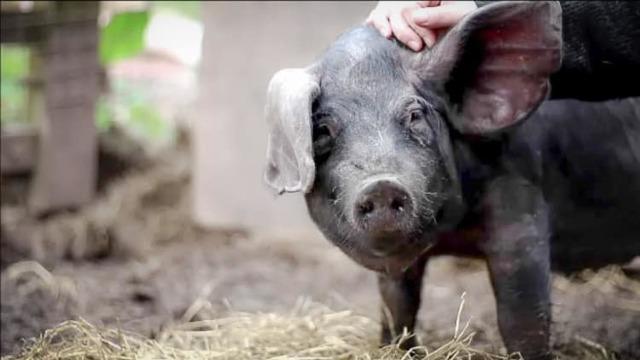 Мясные породы свиней: 12 лучших видов поросят для домашнего хозяйства, описание, характеристики