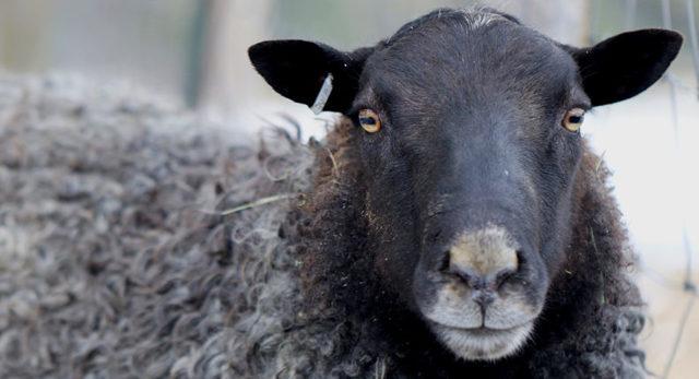 Романовские овцы содержание и разведение, описание и характеристика
