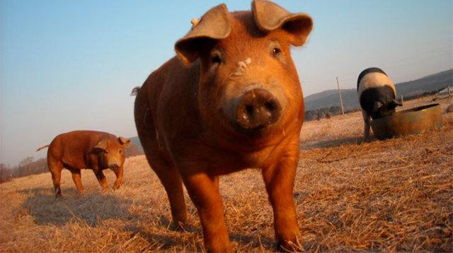 Дюрок порода свиней: характеристика, внешние особенности и условия выращивания